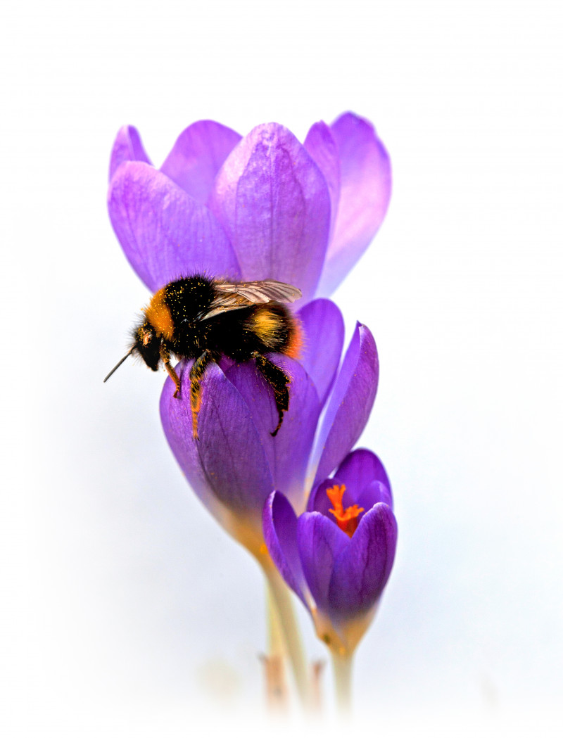 A photo of 'Bee on Crocus    ' by R. Dallywater