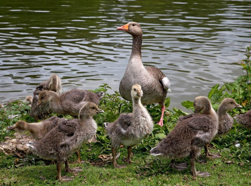 A photo of 'Goose Family' by R Dallywater