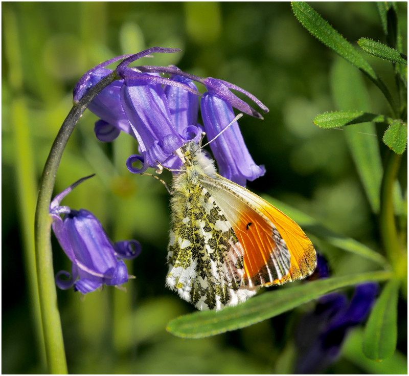A photo of 'Orange Tip Butterfly' by G Holt