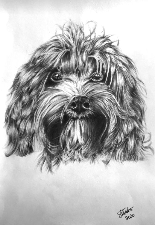 A photo of 'Dog Portrait -Cockapoo' by Samantha Haskins
