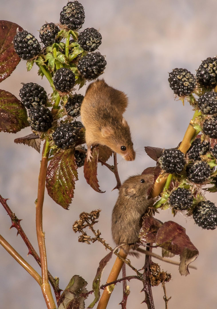 A photo of 'Harvest Mice' by Ian Waite