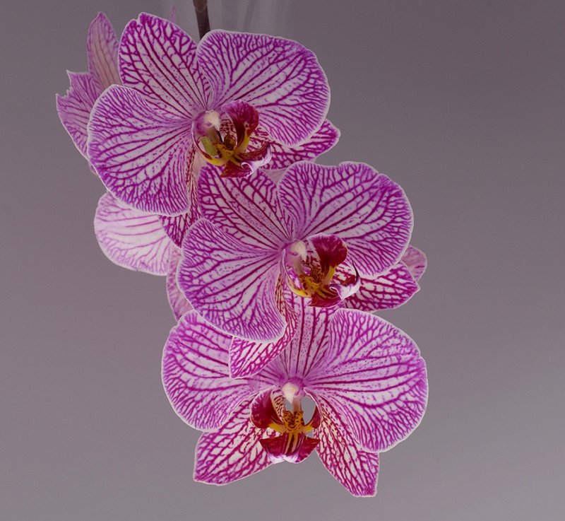 A photo of 'Phalaenopsis Moth Orchid' by Margaret Wateron